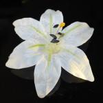Květ lilie 01 bílý